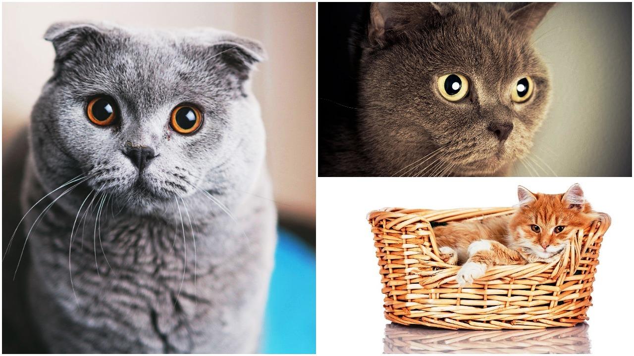 najtraznije rase macaka u rusiji