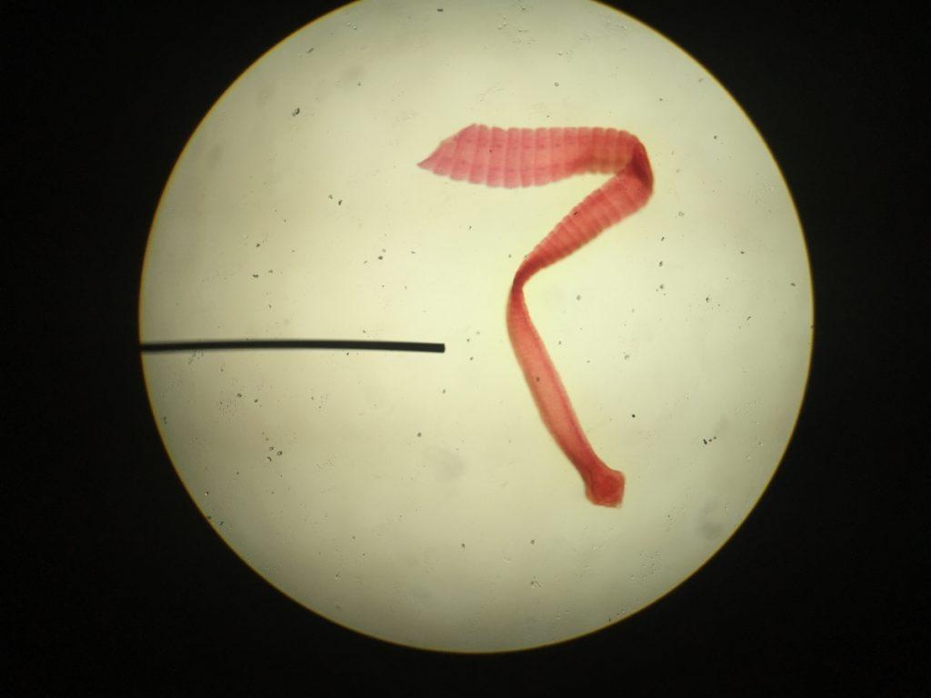 crevni paraziták kod stenaca