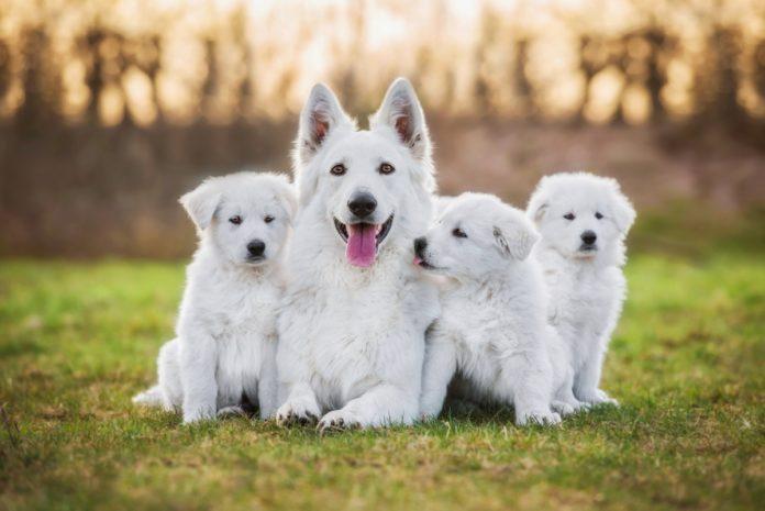 pas i porodica