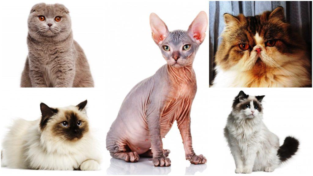 najneznije rase macaka