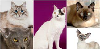 najglasnije rase macaka