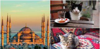 istanbulske macke