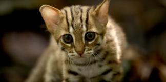 najmanja divlja macka na svetu