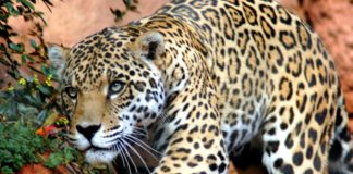 pobegao jaguar