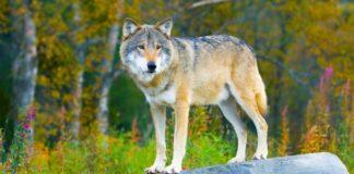 vukovi iz cernobilja