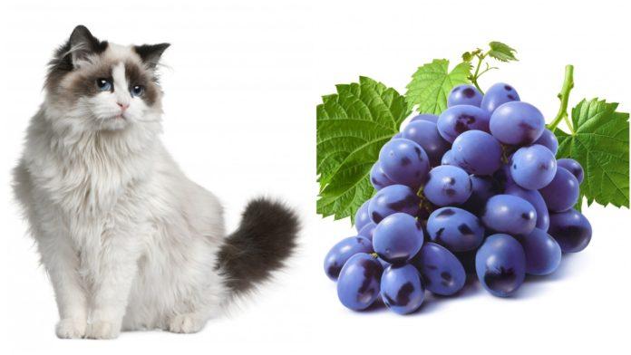 macka i grozdje