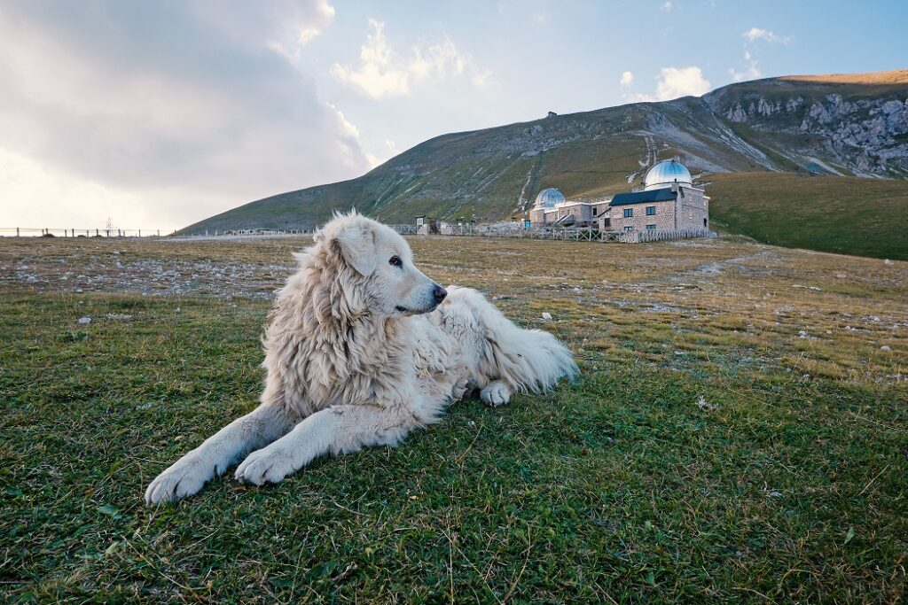 Maremano abruceški pastirski pas (marema)