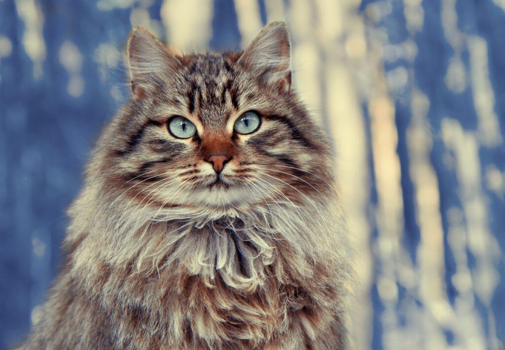 sibirska macka