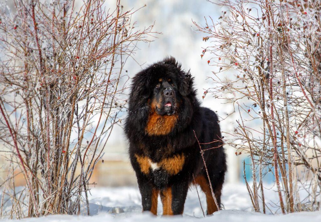 tibetanski mastif, skupi psi