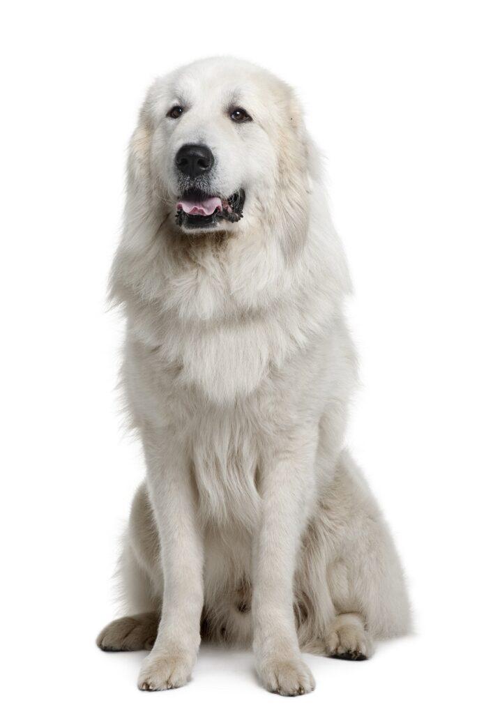 prinijeski planinski pas