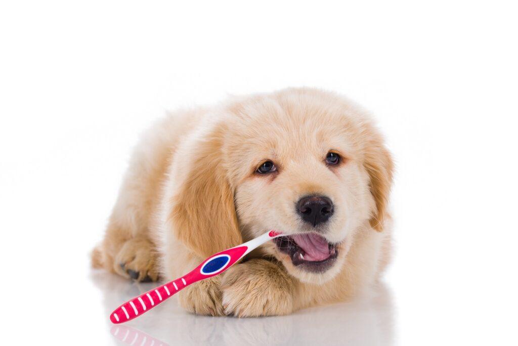 pas pere zube