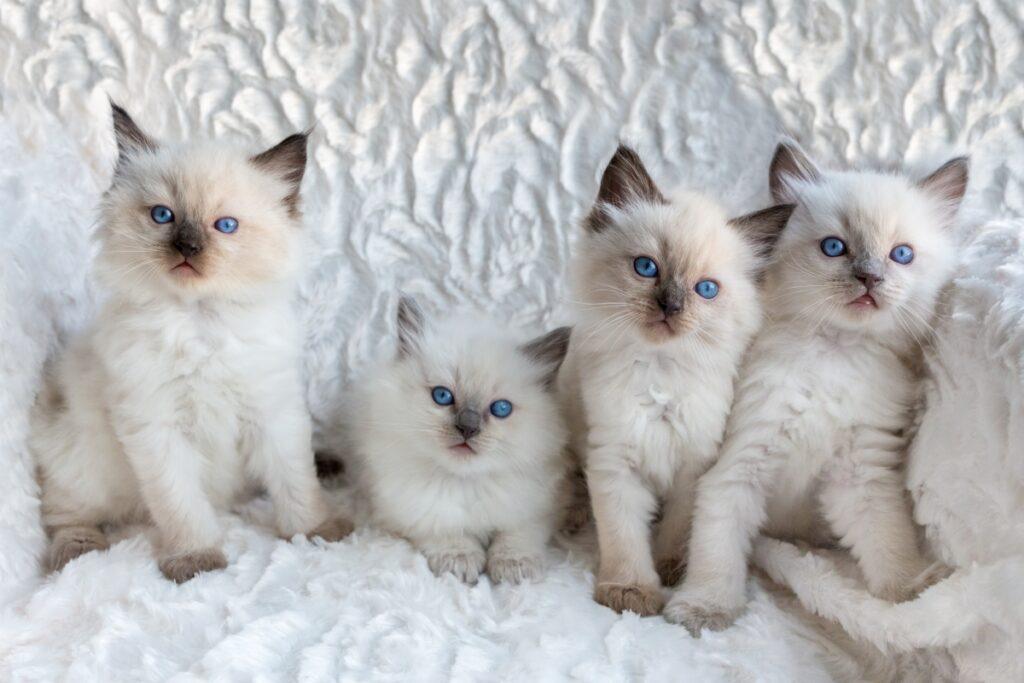 regdol macici