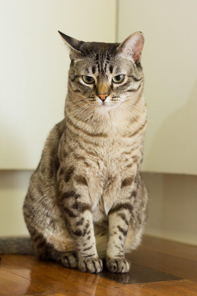 australijska mist macka