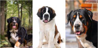 psi iz svajcarske