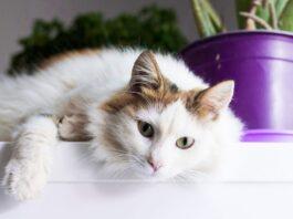 egejska macka