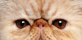 persijska macka