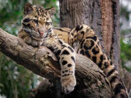 oblacasti leopard