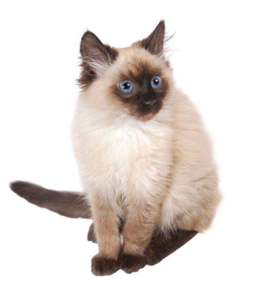 himalajska macka