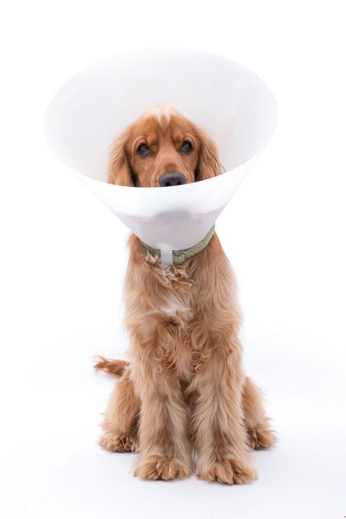 pas posle operacije