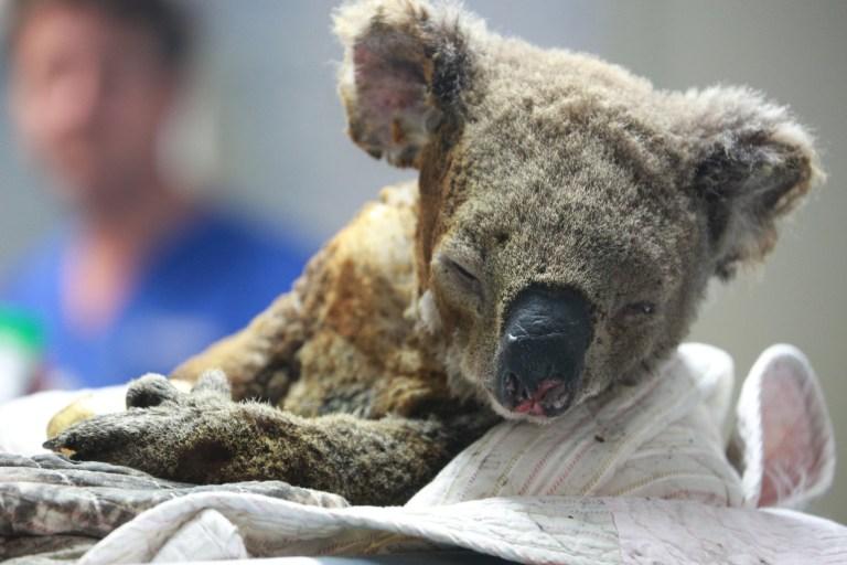 povredjena koala