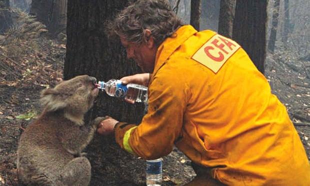 koala australija