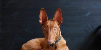 faraonski pas