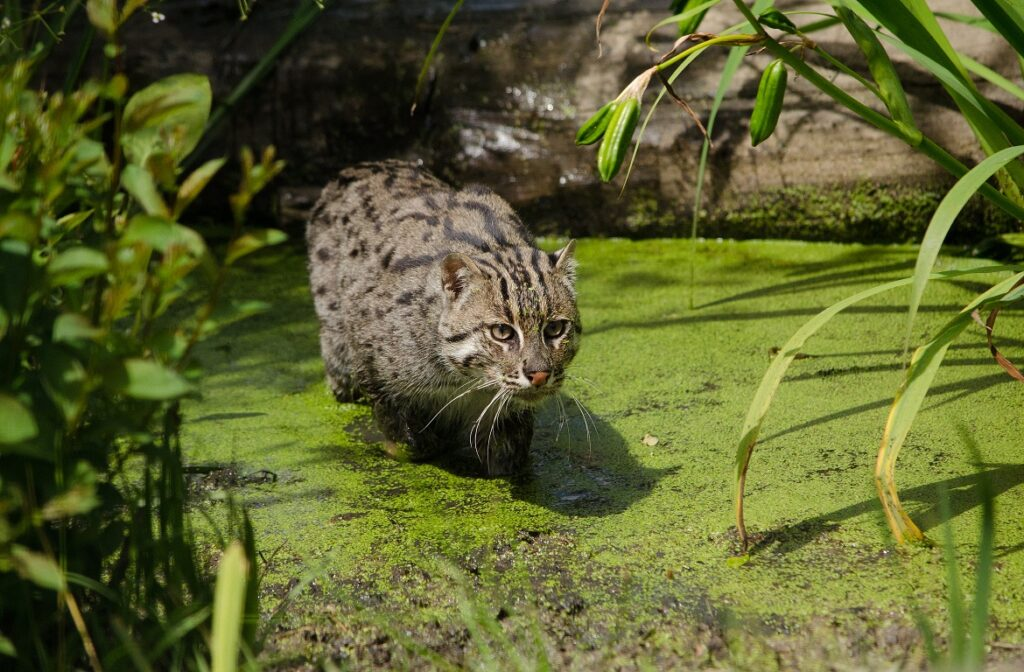 macka ribolovac