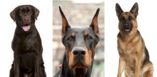 psi davaoci krvi
