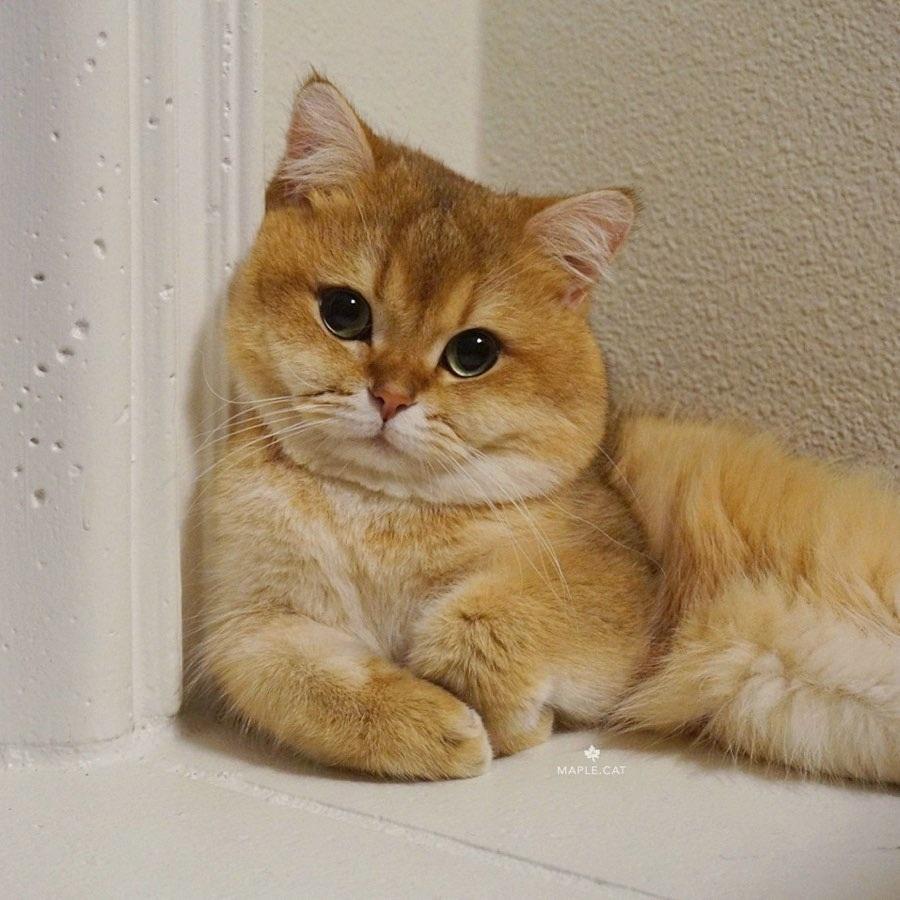 maple cat