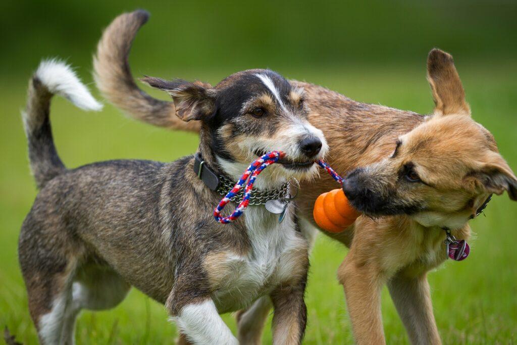 psi se igraju