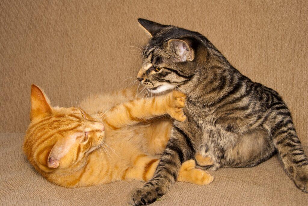 mačke se igraju
