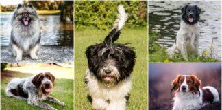 psi iz holandije
