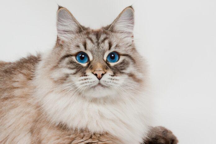 putin sibirska macka