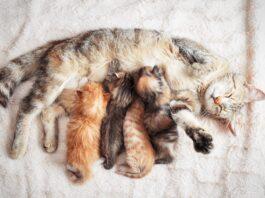 macka sa macicima