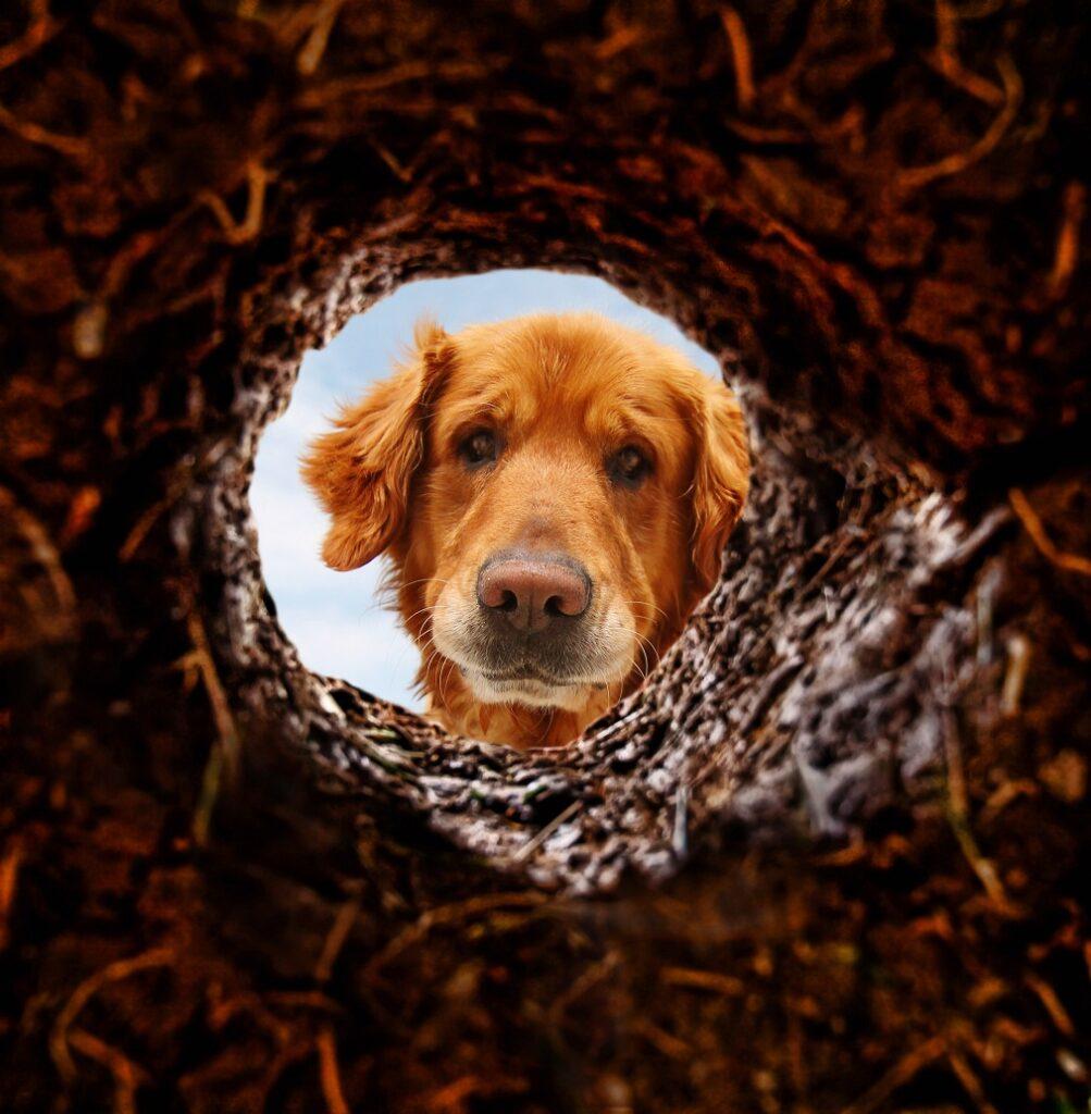 pas gleda u rupu