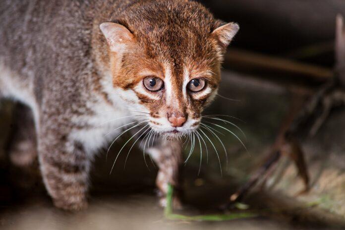 sumatranska macka
