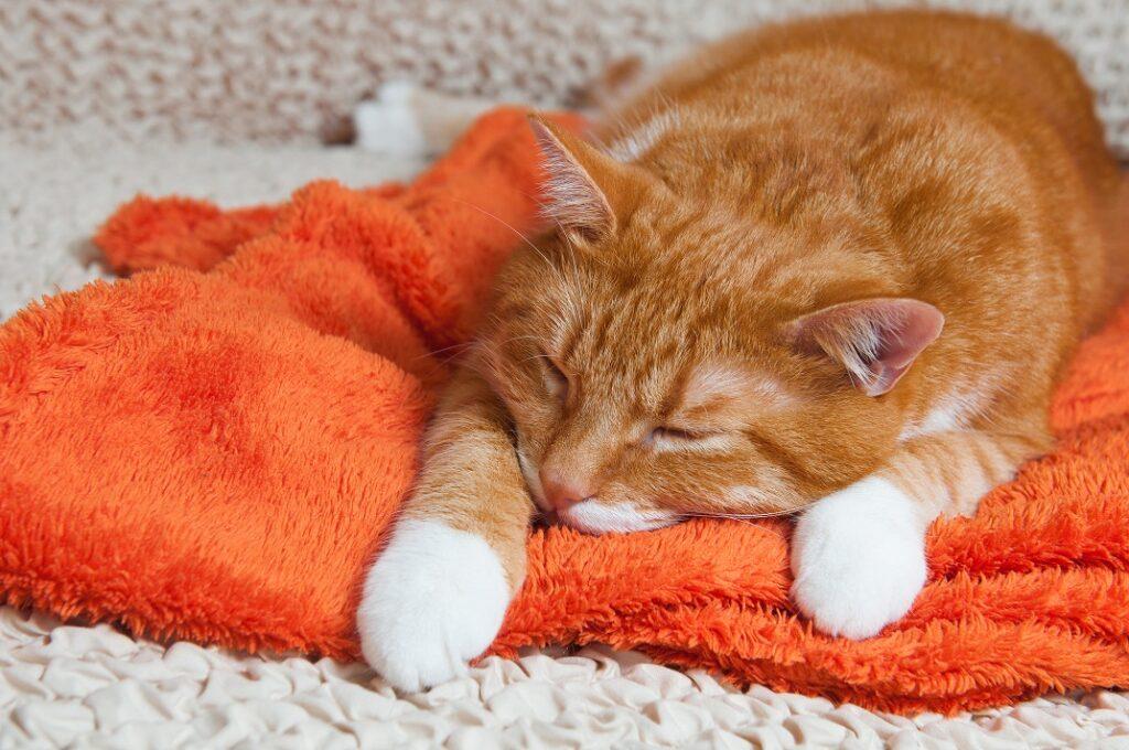 Infektivni peritonitis mačaka FIP