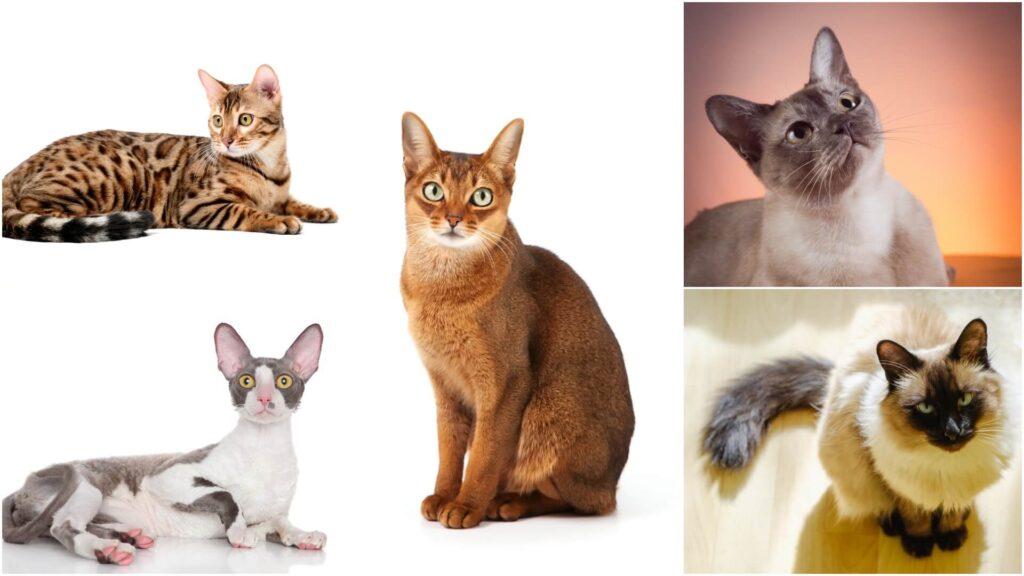 pametne rase macaka