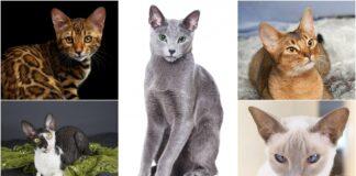 najrazigranije rase macaka