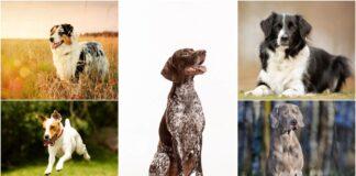 najaktivnije rase pasa
