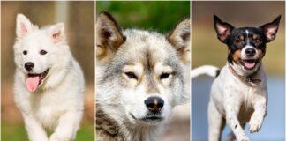 psi iz danske