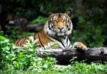 dokumentarac kralj tigrova