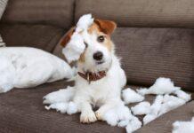 korona virus i pas
