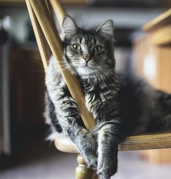 mačka na stolici