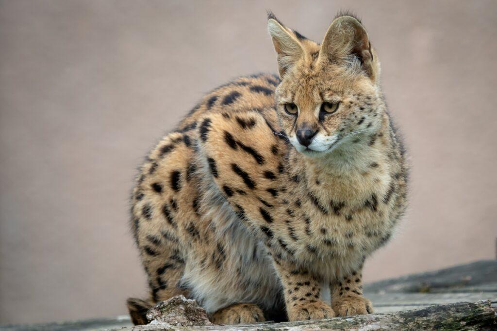 africki serval