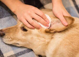 psa boli uho