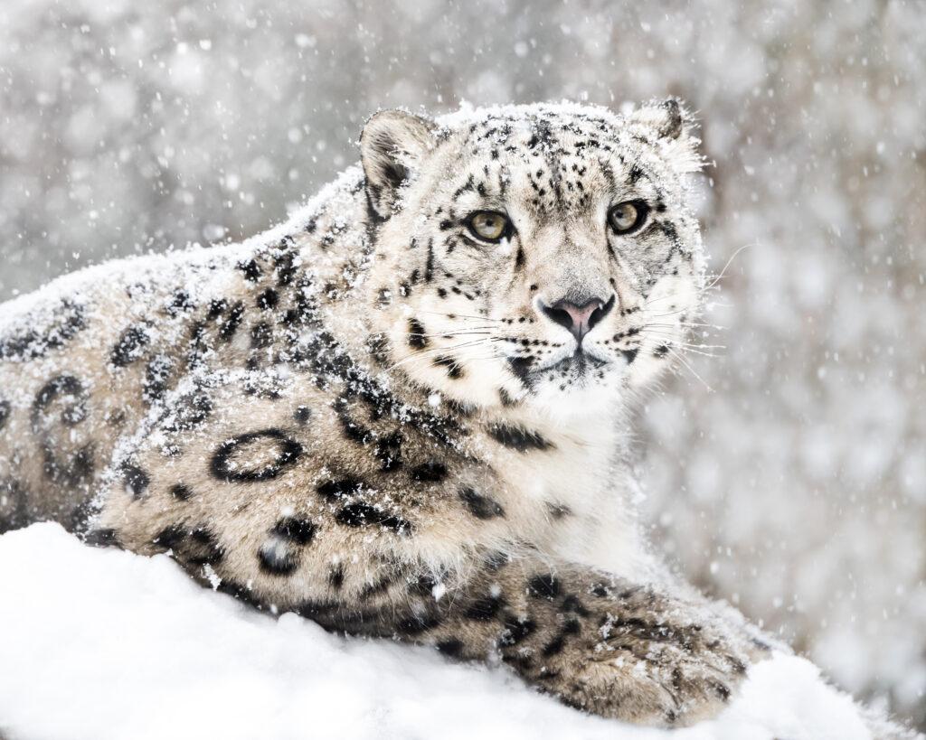 snežni leopard