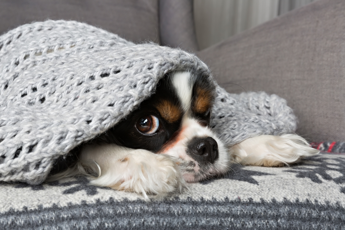 pas pod pokrivačem