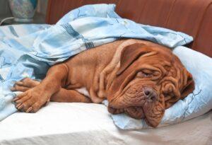 pas na kauču spava