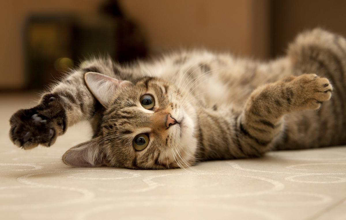 mačka se igra
